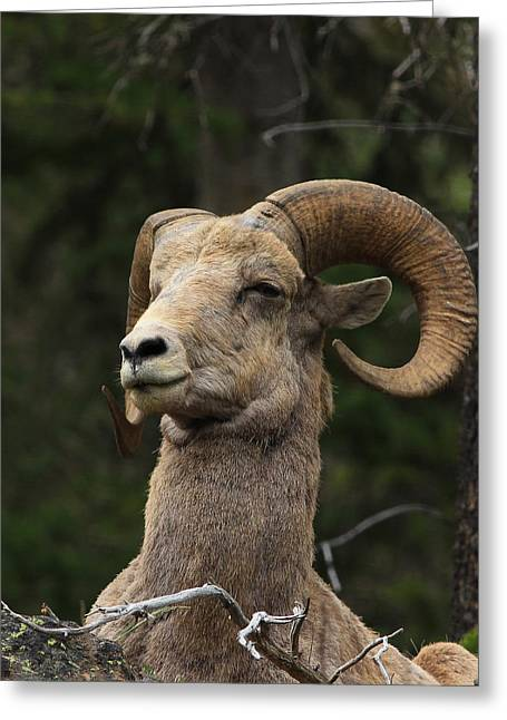 Regal Ram Greeting Card