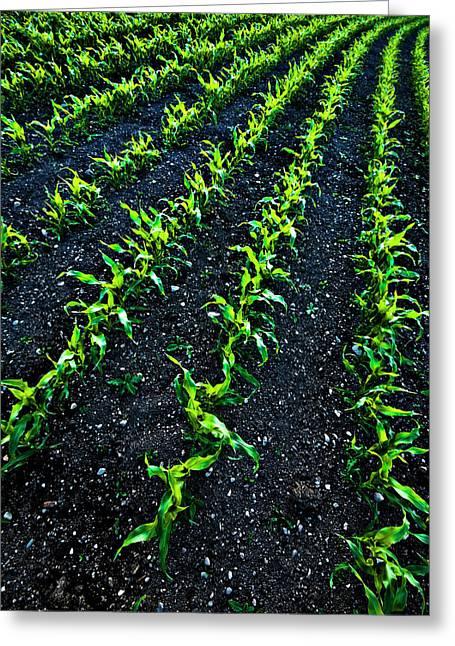 Regimented Corn Greeting Card by Meirion Matthias