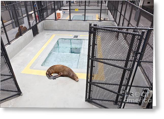 Rehabilitated Sea Lion Greeting Card by Inga Spence