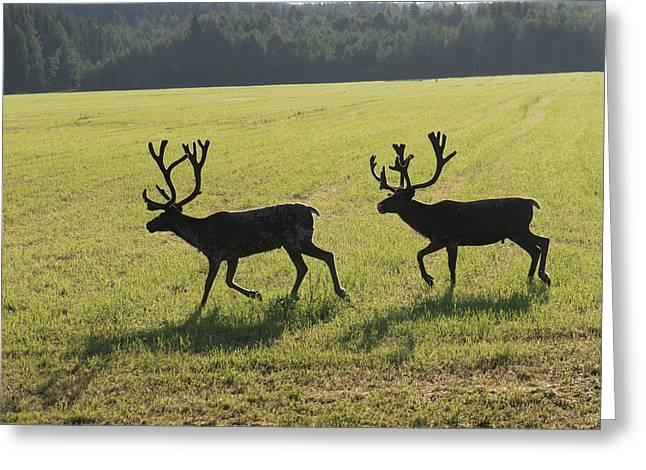 Reindeers On Swedish Fjeld Greeting Card