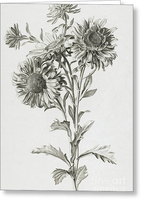 Reine-marguerite Greeting Card by Gerard van Spaendonck