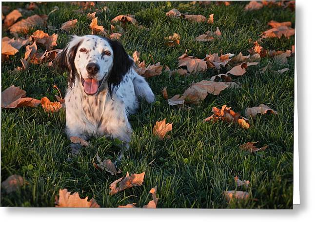 Relaxed And Happy, English Setter Greeting Card by Flying Z Photography By Zayne Diamond