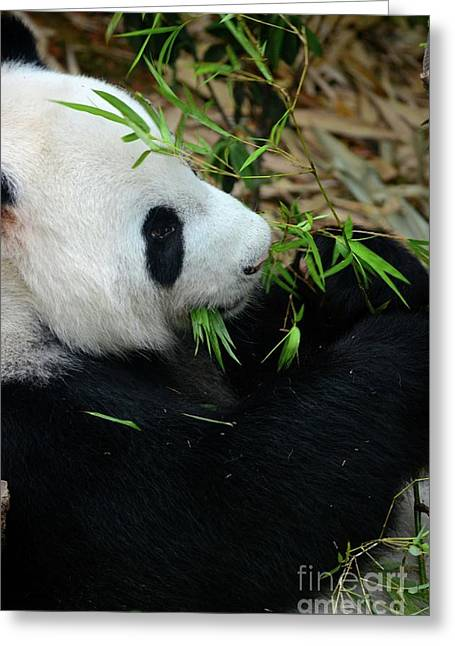 Relaxed Panda Bear Eats With Green Leaves In Mouth Greeting Card
