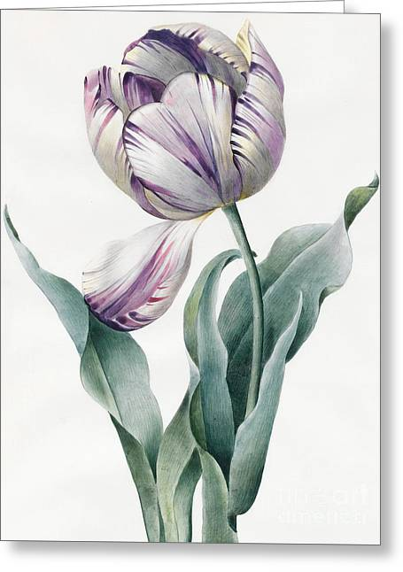 Rembrandt Tulip Greeting Card