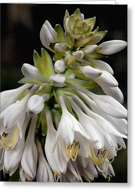 Renaissance Lily Greeting Card by Marie Hicks
