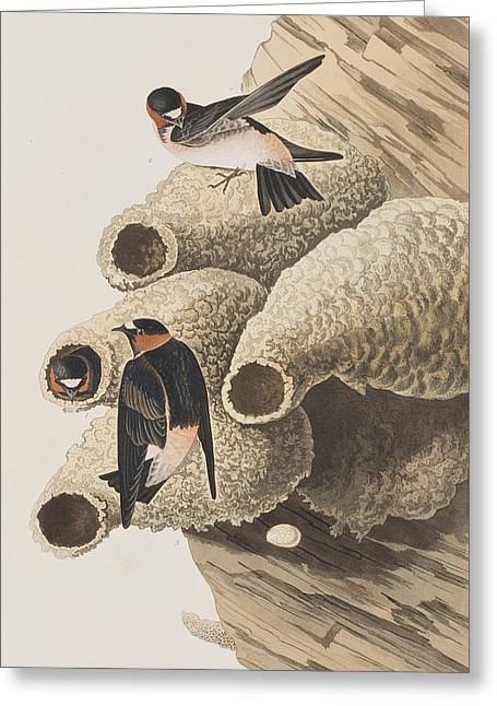 Republican Or Cliff Swallow Greeting Card by John James Audubon