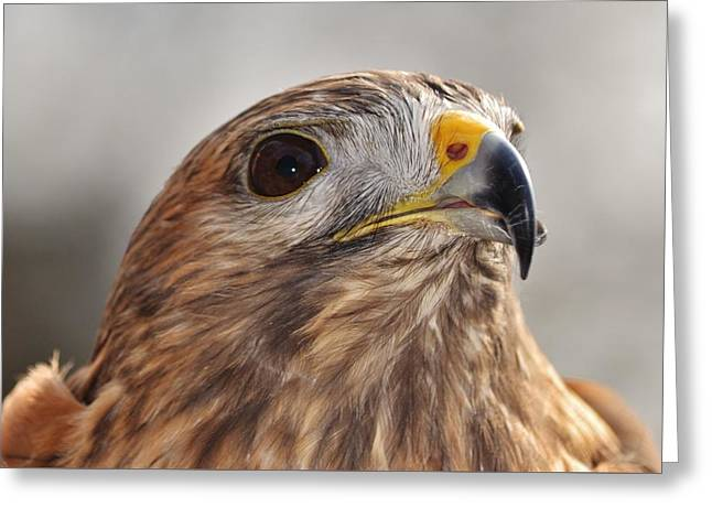 Rescued Hawk Greeting Card