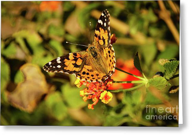 Resting American Painted Lady Greeting Card