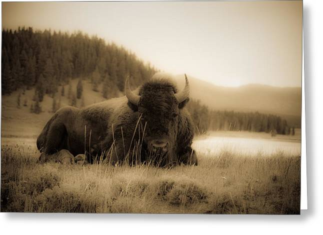 Resting Bison Greeting Card by Patrick  Flynn