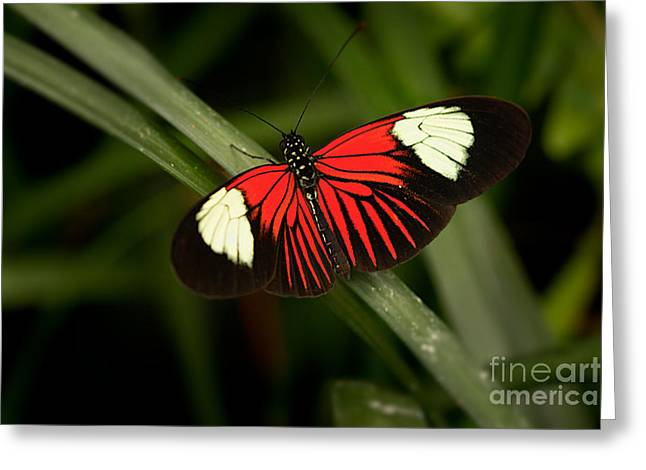 Resting Butterfly Greeting Card by Ana V Ramirez