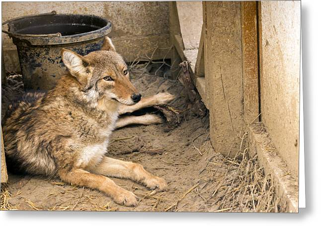 Resting Coyote Greeting Card
