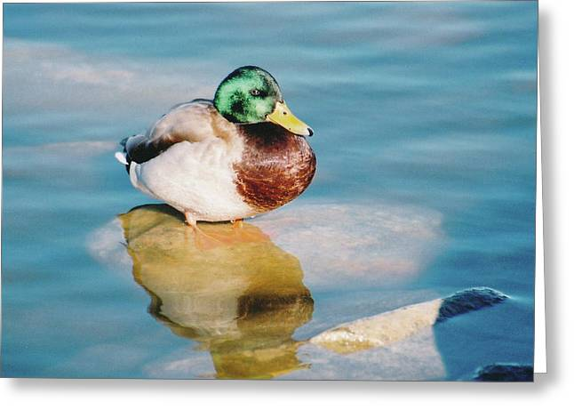 Greeting Card featuring the photograph Resting Mallard by Tom Potter