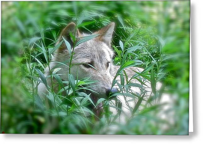 Wolf From The Forest Greeting Cards - Resting Place Greeting Card by Debra     Vatalaro