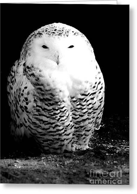 Thought Wild Greeting Cards - Resting Snowy Owl Greeting Card by Darcy Michaelchuk