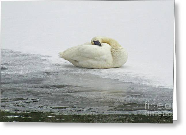 Resting Swan-signed-#1314 Greeting Card by J L Woody Wooden