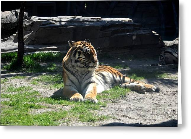 Greeting Card featuring the photograph Resting Tiger by John Black
