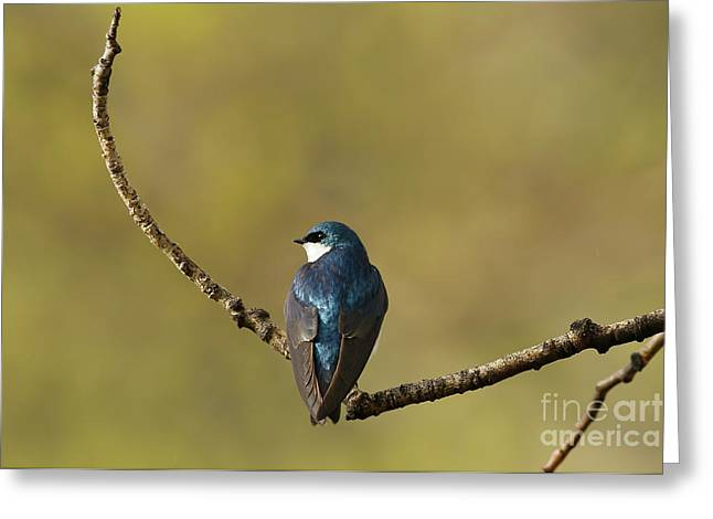Resting Tree Swallow Greeting Card