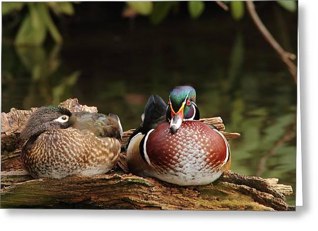 Resting Wood Ducks Greeting Card