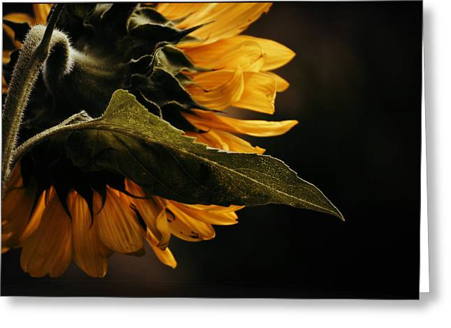Greeting Card featuring the photograph Reticent Sunflower by Douglas MooreZart