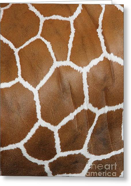 Reticulated Giraffe #2 Greeting Card