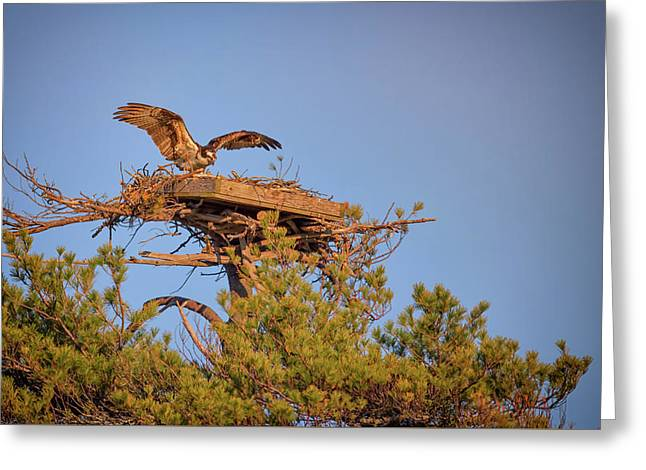 Returning To The Nest Greeting Card by Rick Berk