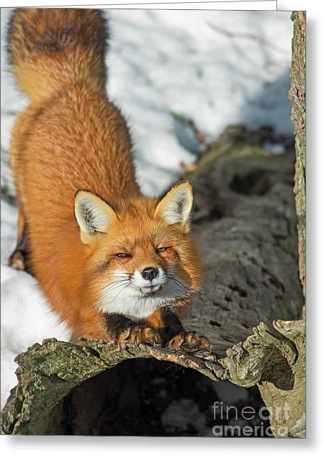 Greeting Card featuring the photograph Reynard The Fox by Nina Stavlund