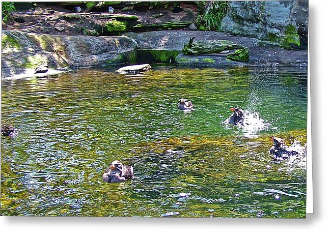 Rhinoceros Auklets In Oregon Coast Aquarium In Newport, Oregon Greeting Card