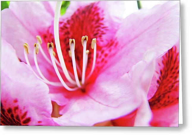 Rhodies Flower Macro Pink Rhododendron Baslee Troutman Greeting Card by Baslee Troutman