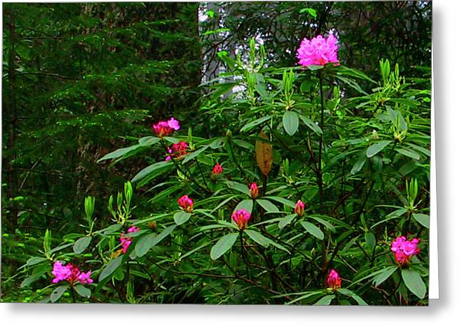 Rhodies In The Redwoods Greeting Card by Tom Kidd