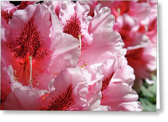Rhodies Pink Fine Art Photography Rhododendrons Baslee Troutman Greeting Card by Baslee Troutman