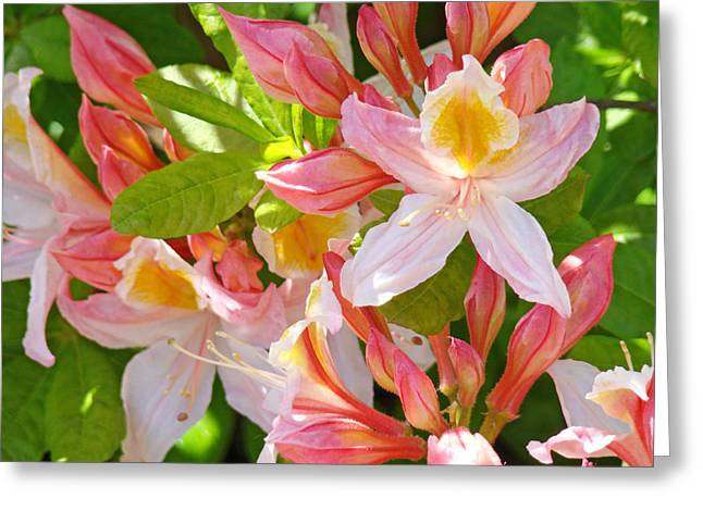 Rhodies Pink Orange Yellow Summer Rhododendron Floral Baslee Troutman Greeting Card by Baslee Troutman