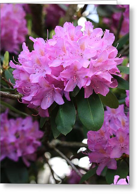 Rhododendron Beauty Greeting Card