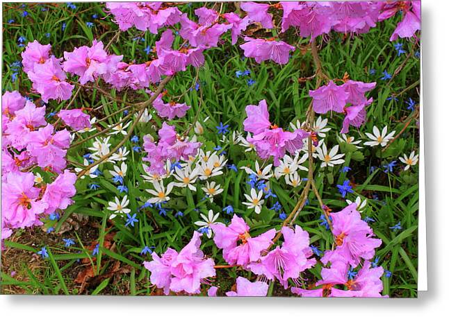 Rhododendron Bloodroot In Garden Greeting Card by John Burk
