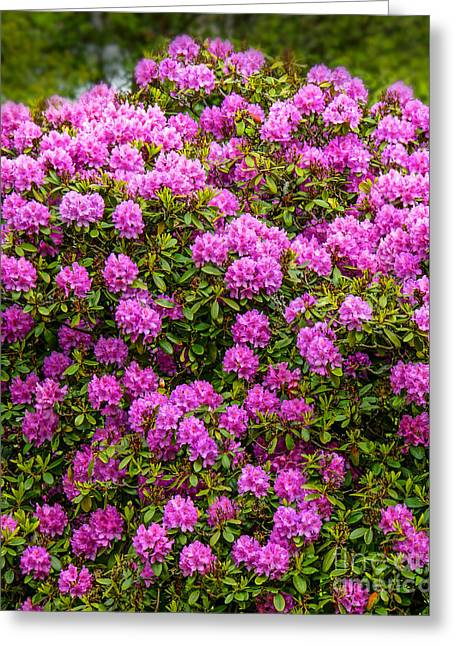Rhododendrons Greeting Cards - Rhododendron Bush Greeting Card by Lutz Baar