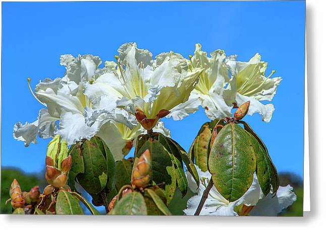 Rhododendron Ciliicalyx Dthn0213 Greeting Card