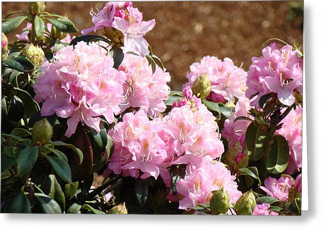 Rhododendron Garden Art Print Pink Rhodies Flowers Baslee Troutman Greeting Card by Baslee Troutman
