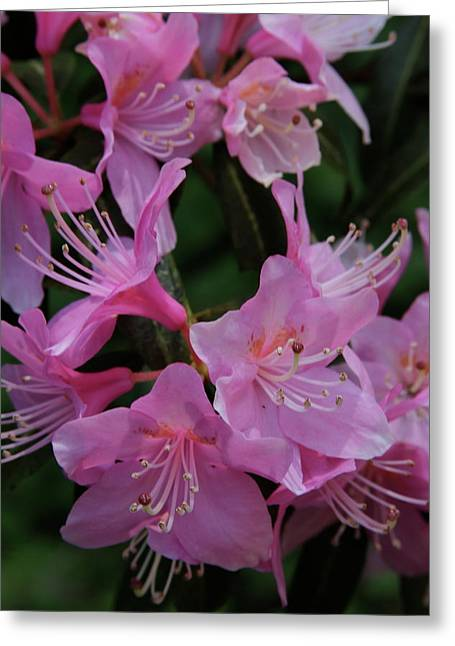 Rhododendron In The Pink Greeting Card by Laddie Halupa