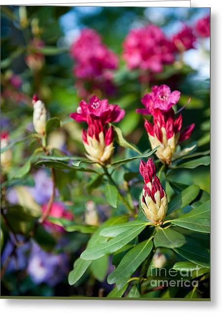 Rhododendron Or Azalea Buds Bright Pink  Greeting Card