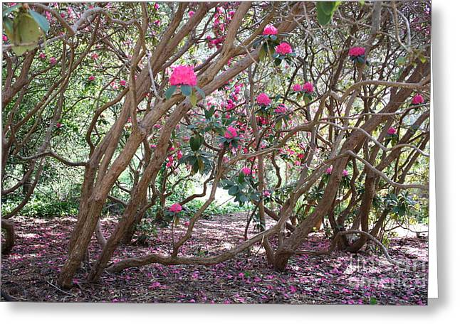 Rhododendrons In Golden Gate Park Greeting Card