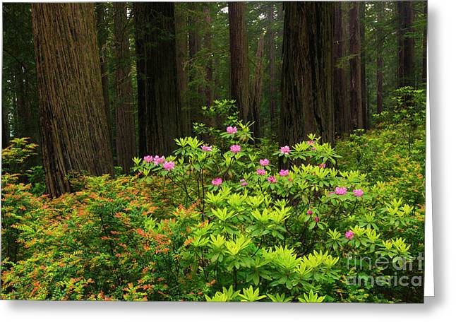 Rhodys And Redwood Greeting Card