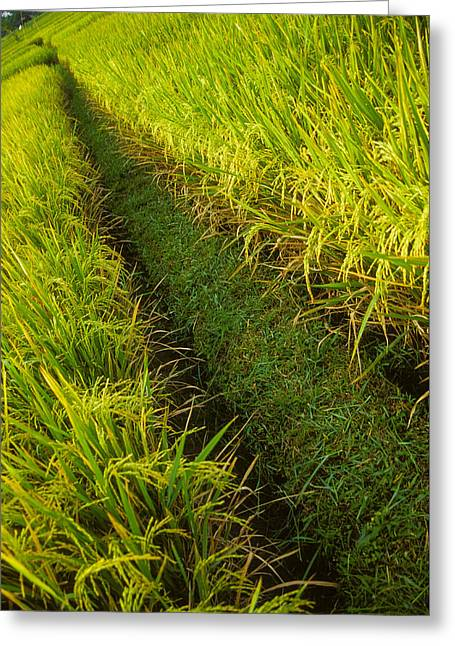 Greeting Card featuring the photograph Rice Field Hiking by T Brian Jones