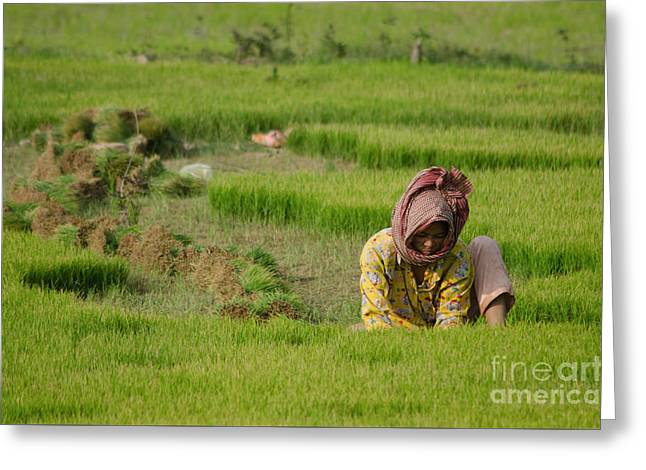 Rice Field Worker Harvests Rice In Green Field In Southeast Asia Greeting Card by Jason Rosette