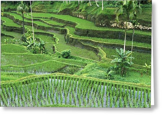Rice Oryza Sativa Paddy In The Ubud Greeting Card by Cyril Ruoso