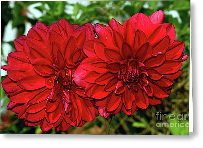 Greeting Card featuring the photograph Rich Red Dahlias By Kaye Menner by Kaye Menner