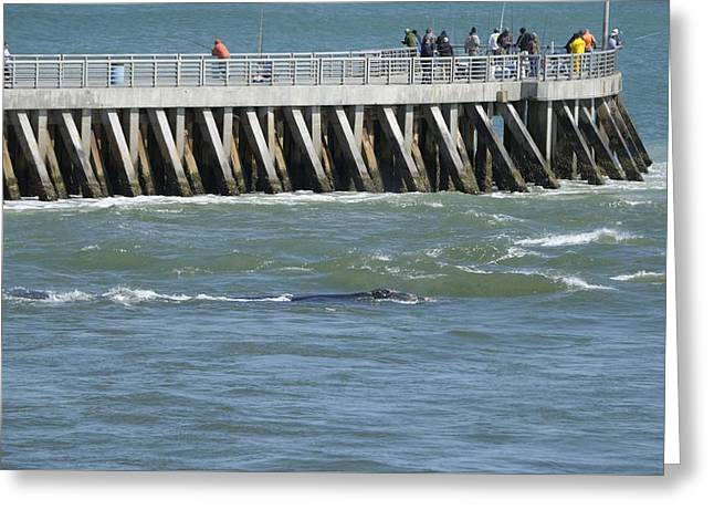 Right Whale At Sebastian Inlet Greeting Card by Bradford Martin