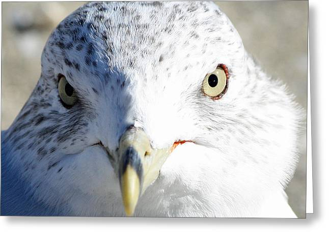 Ring Billed Gull Greeting Card