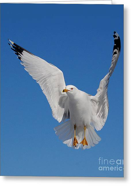 Ring Billed Gull In Flight Greeting Card by Mircea Costina Photography