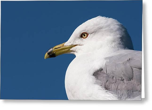 Ring-billed Gull Portrait Greeting Card