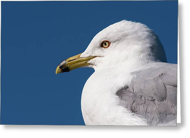 Ring-billed Gull Portrait Greeting Card
