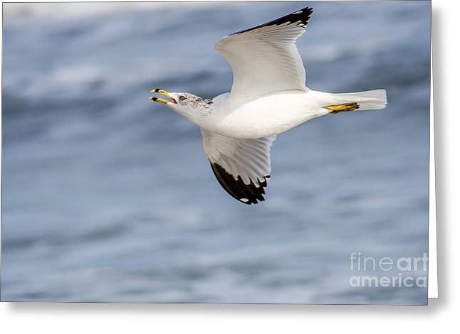 Ring-billed Seagull Looking For Attention Greeting Card by Debra Martz